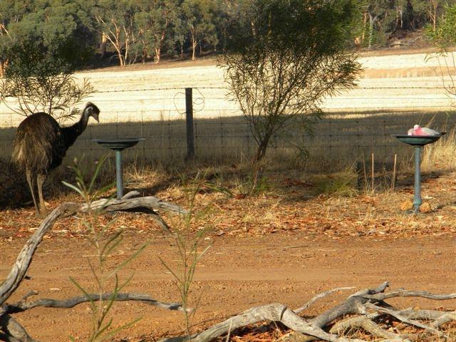 Emus2 web Our Pets & Farm Animals