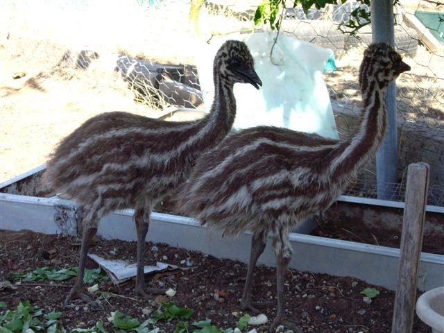 Emus chicks web Our Pets & Farm Animals