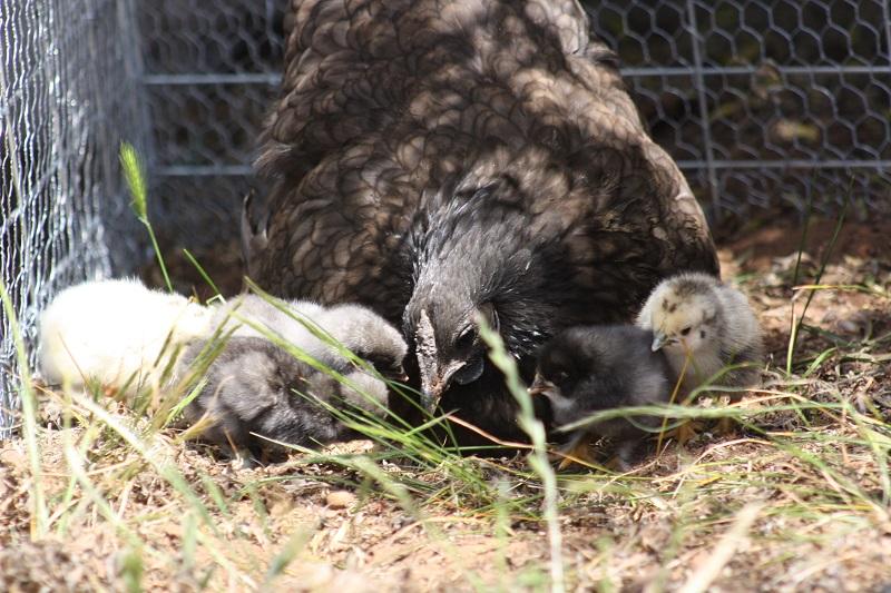 chooks1 web Our Pets & Farm Animals