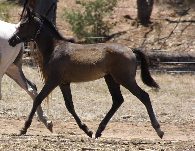 Clare foal web Powderbark Clare