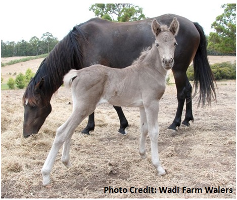 Firefly foal web Wadi Farm Firefly