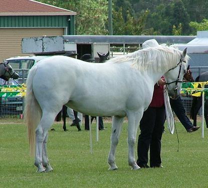 Cornamona APSB 2006 Glenormiston Cornamona