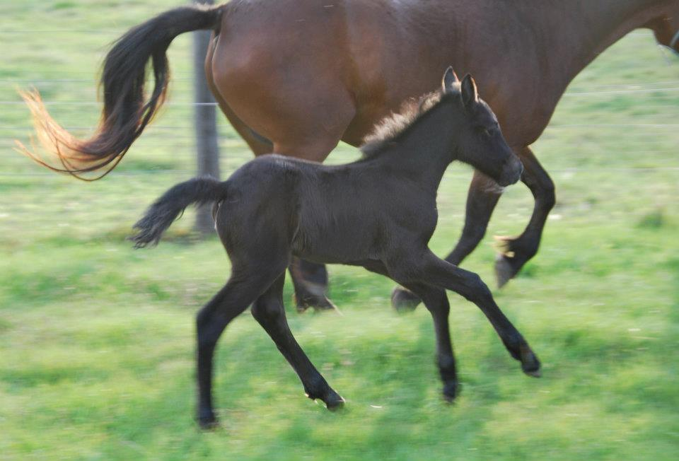 Stormcloud foal1 web Glenormiston Stormcloud