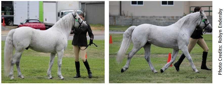 Fibber APSB Handler web Success again for our all round performance stallion, Glenormiston Fibber McGee.