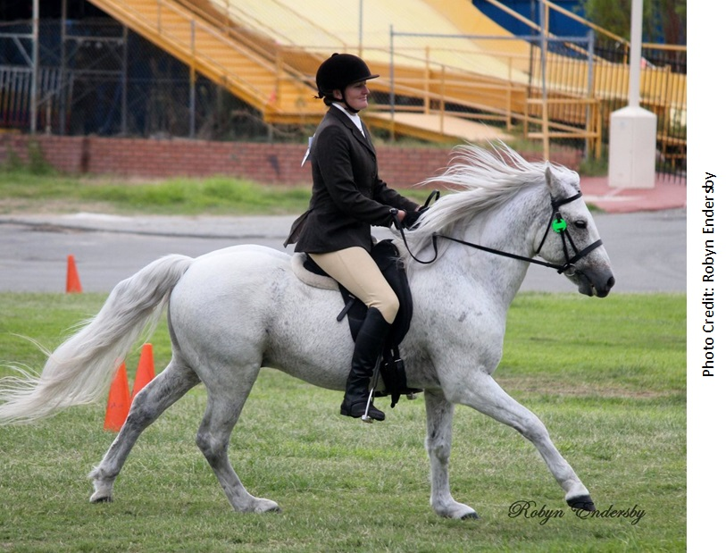 Fibber APSB Ridden2 Success again for our all round performance stallion, Glenormiston Fibber McGee.
