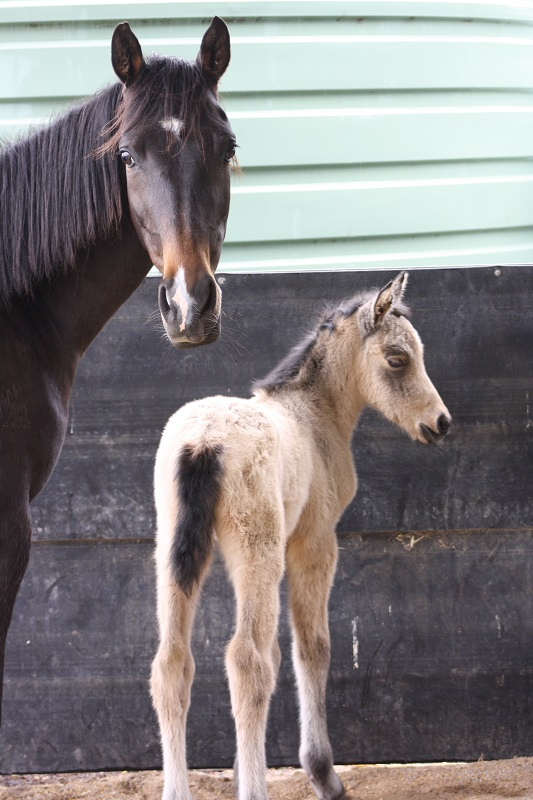 Esme foal1 web Introducing Powderbark Esmeralda!