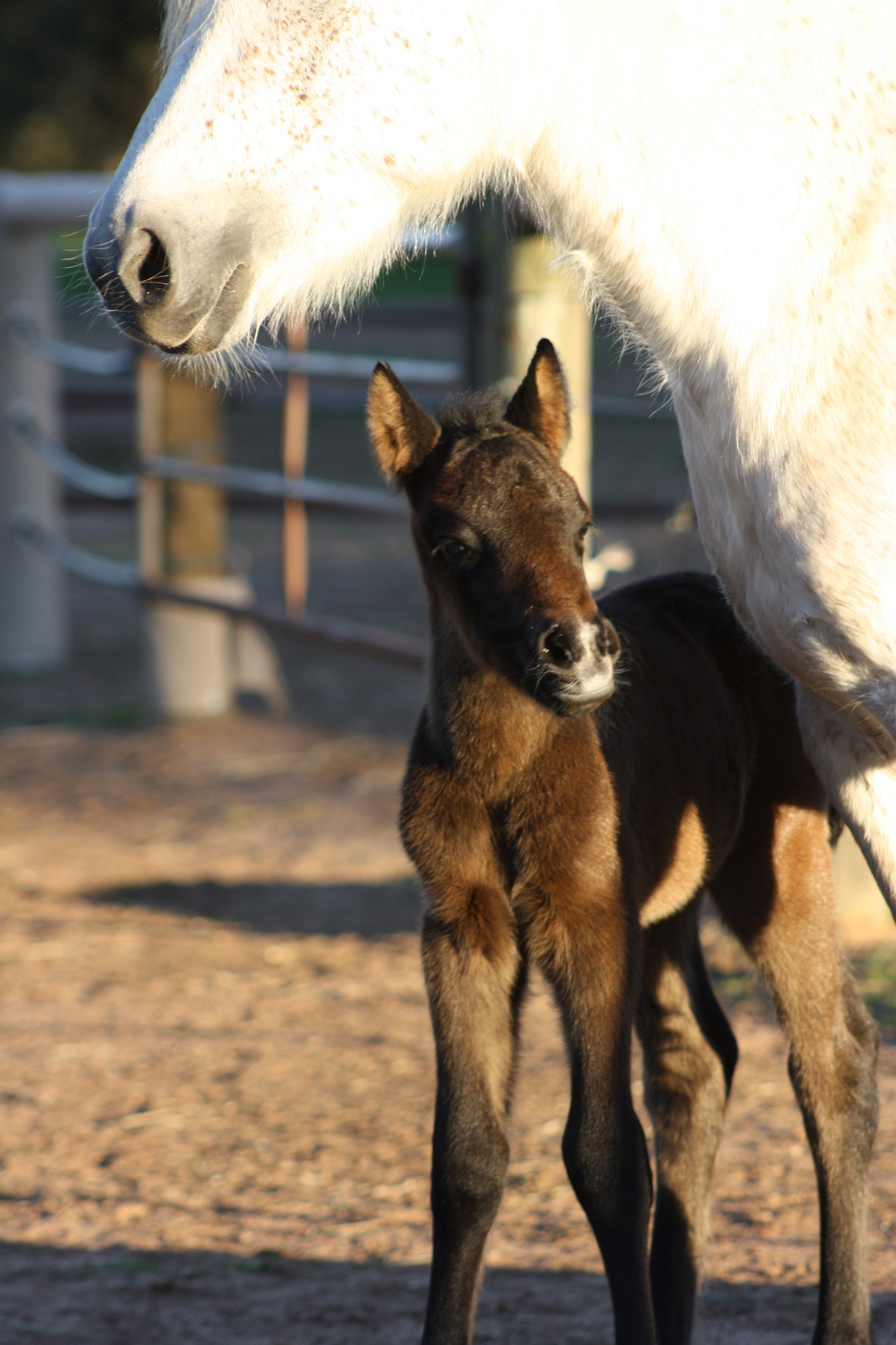 IMG 2576 email 2days 2016 Foals